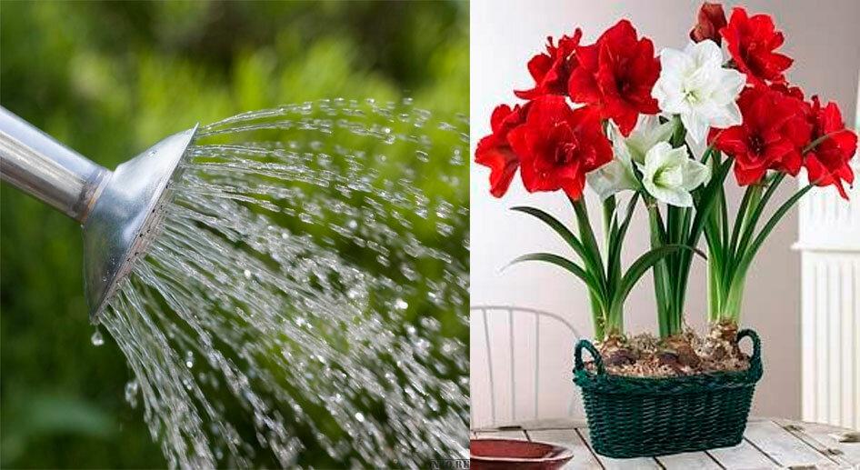Полив денежного дерева или толстянки: сколько и как часто, полив летом и зимой