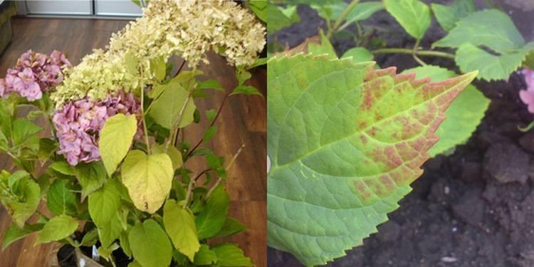 Гортензия мельчает: почему появляются маленькие соцветия и что делать с цветами