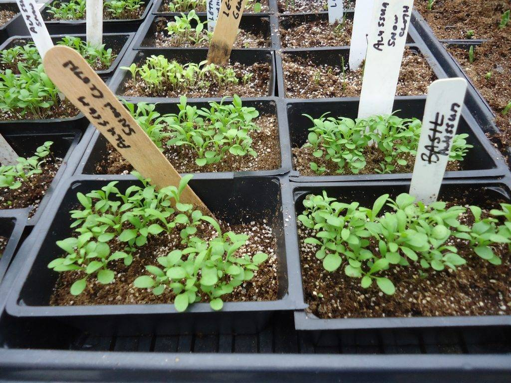 Выращивание аквилегии из семян | образцовая усадьба