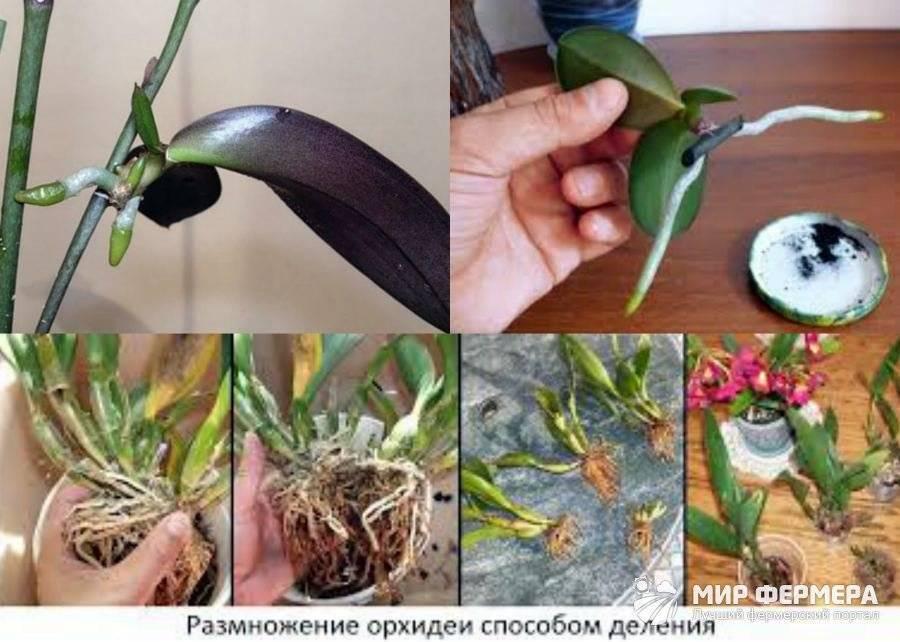 Орхидея: размножение и уход в домашних условиях