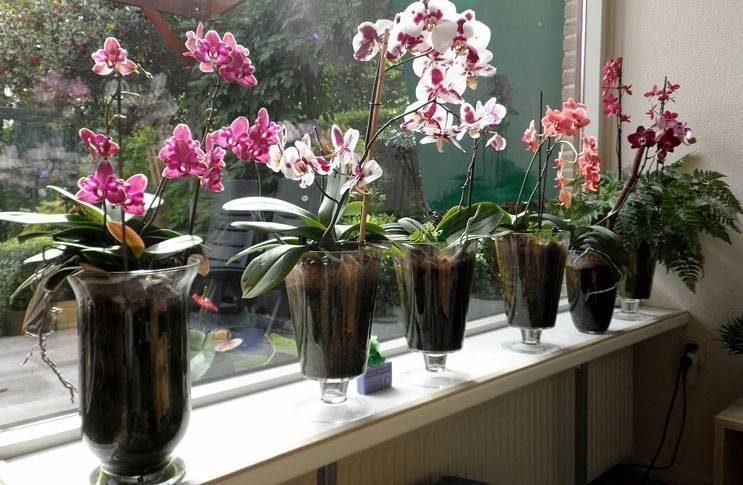 Выращивание и посадка цветка черной орхидеи, сорта: принц, птичка, вдова, уход
