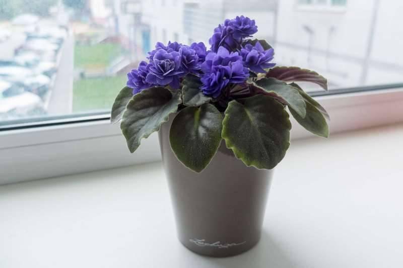 Фиалка Ness Crinkle Blue — особенности растения