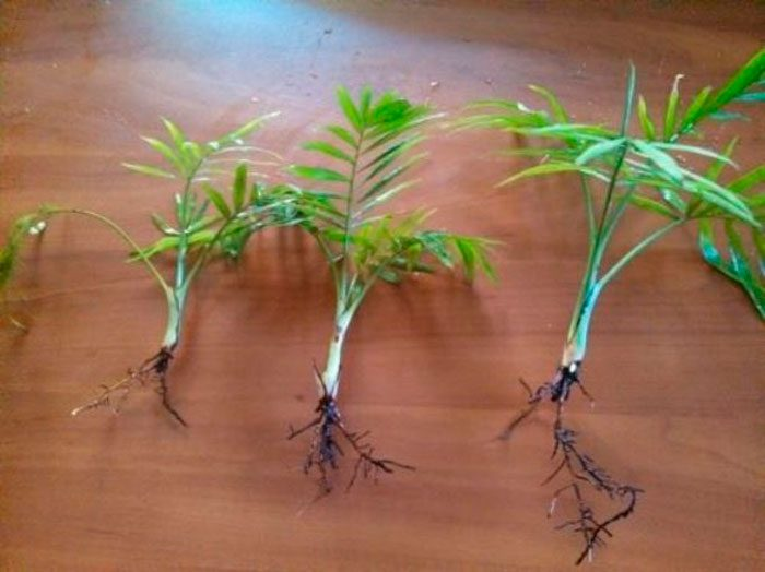 Пальма арека хризалидокарпус — уход в домашних условиях