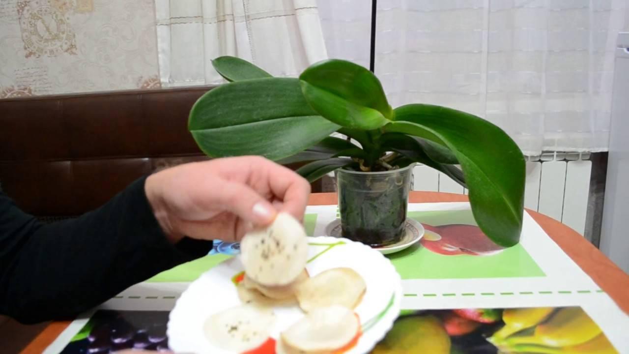 Выращиваем бананы дома