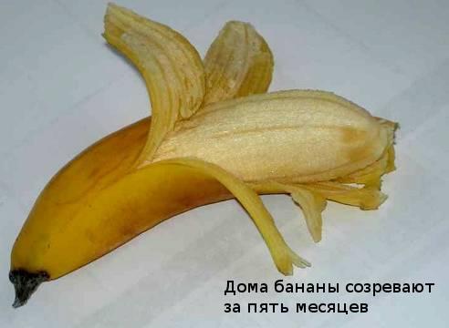 Как вырастить банан своими силами в домашних условиях | как вырастить