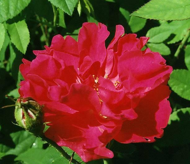 Роза аделаида худлесс: описание сорта, советы по посадке и уходу
