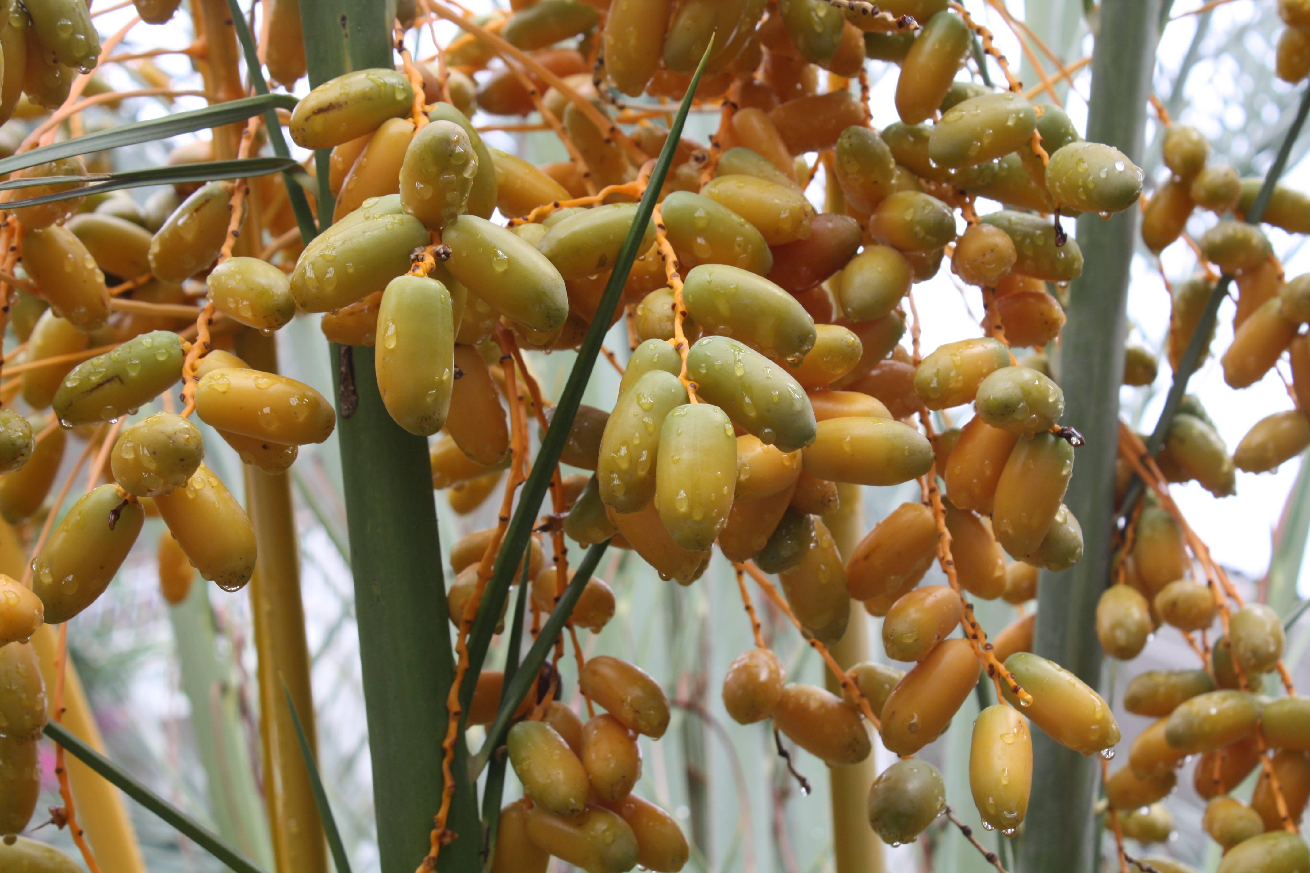 Как растут финики, как выглядят финиковые пальмы - pocvetam.ru