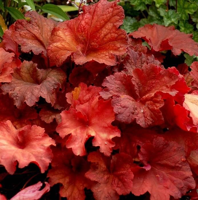 Цветок гейхеры, посадка и уход в открытом грунте