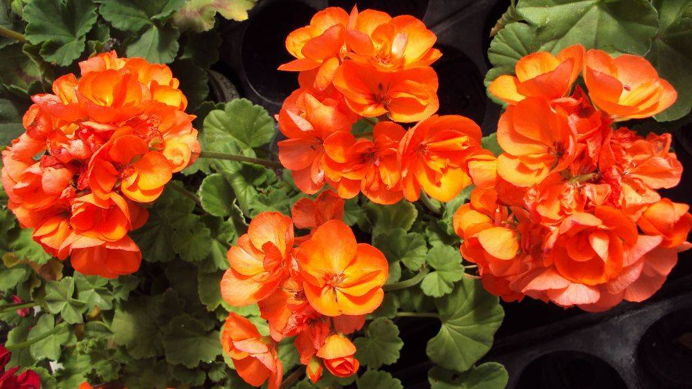 Душистая герань: виды ароматнейшего комнатного растения на фото, размножение черенками и другими способами, а также цветет пахучая домашняя пеларгония или нет?