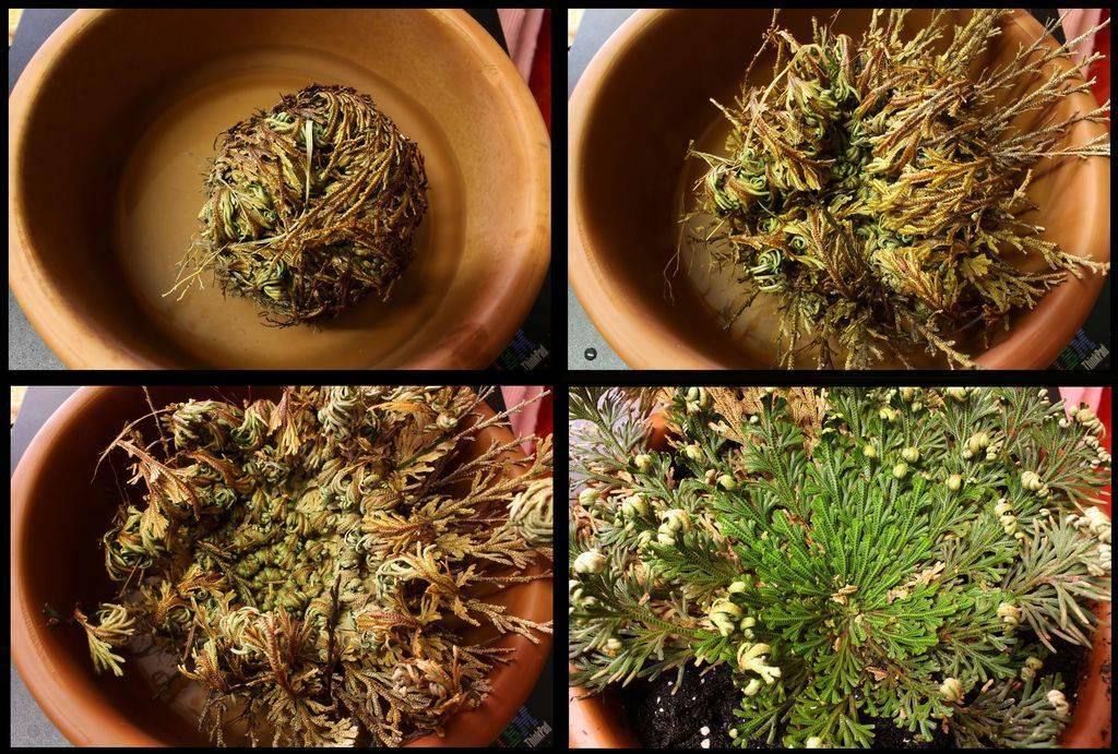 Селагинелла (41 фото): уход за цветком плаунок в домашних условиях, виды комнатного растения мартенса «джори» и чешуелистная, размножение селагинеллы апода