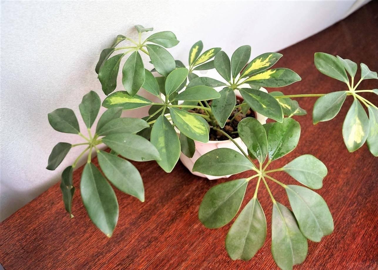 Шеффлера (61 фото): уход за комнатным цветком в домашних условиях, сорта «герда» и «луизиана», пересадка и цветение, ядовито растение или нет