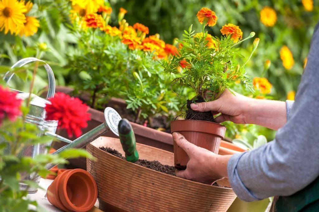 Амариллис: посадка и уход в домашних условиях и в саду, размножение, пересадка