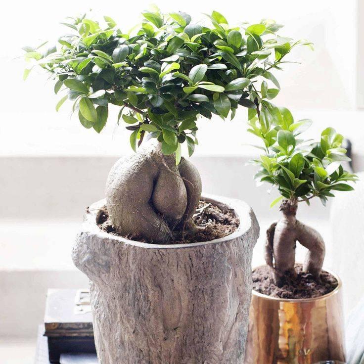Выращивание фикуса тинеке: как посадить, ухаживать, удобрять, размножать, поливать