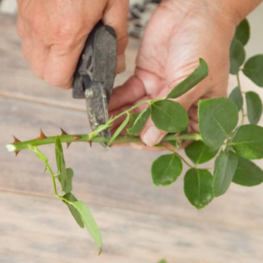 Посадка корнесобственных роз и уход за ними: в чем разница с привитыми, какие лучше