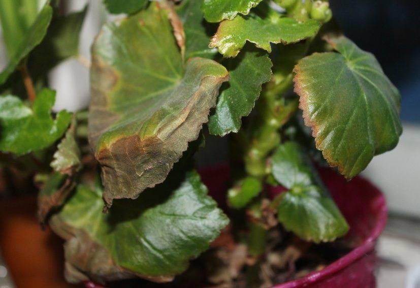 Почему у бегонии опадают бутоны: причины того, что она сбрасывает листья и цветы, от чего растение пропадает, а также способы борьбы с проблемой и меры профилактики
