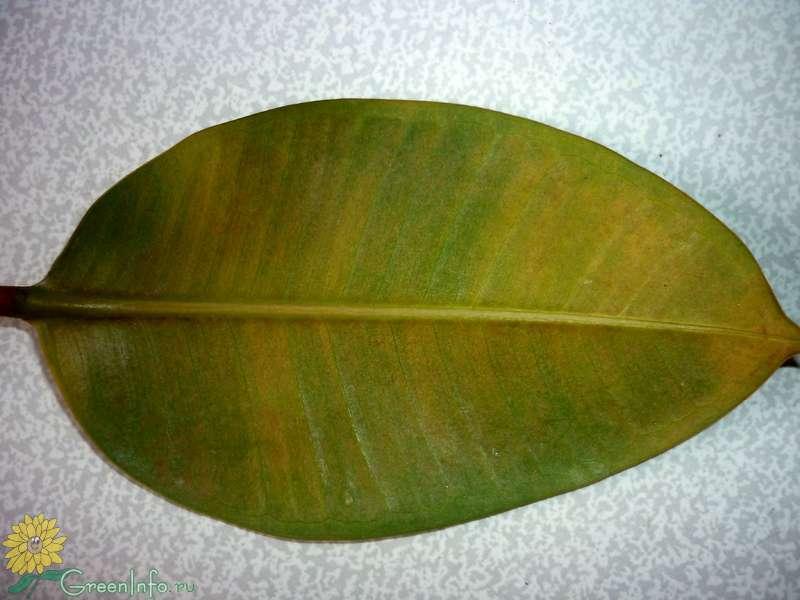 """Болезни фикус """"бенджамина"""": желтеют и опадают листья что делать? каким вредителям подвержено растения?"""