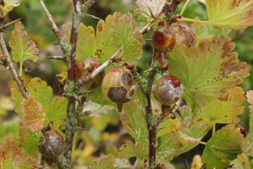 Почему у крыжовника белеют ягоды - 105 фото идей как спасти урожай крыжовника