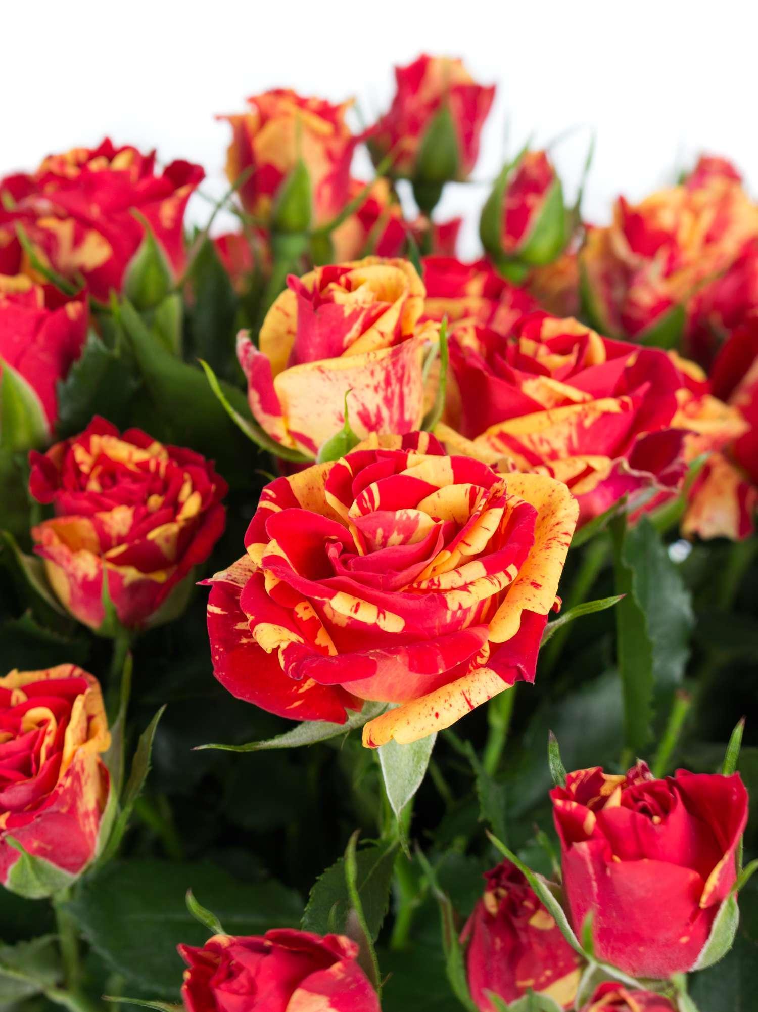 Советы по выращиванию розы файер флеш