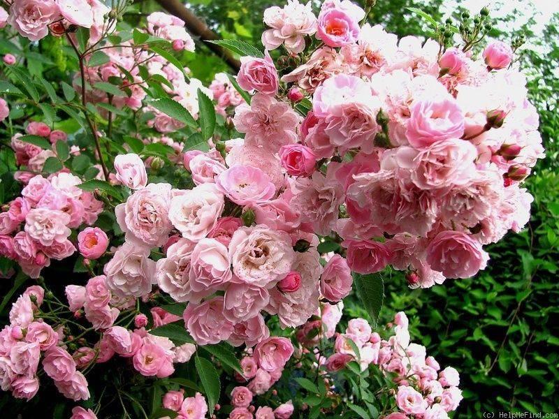 Розы ленса: мускусные розы — сорта с фото и описанием