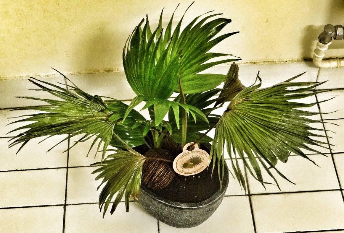 Уход за пальмой вашингтония в домашних условиях: выращивание из семян, виды
