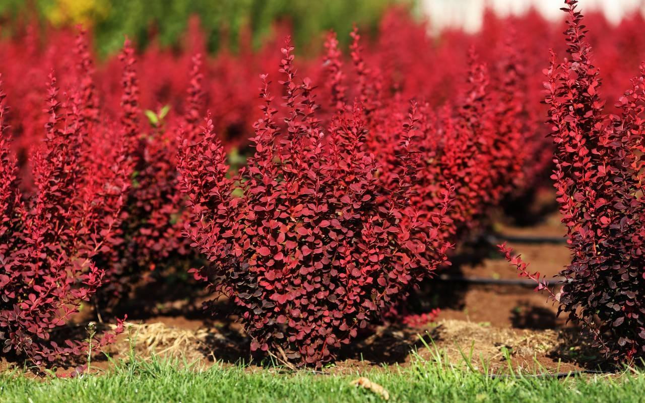 Барбарис оттавский (26 фото): описание, сорта кустарника «сильвер майлс» и «аурикома», краснолистные и пурпурные, другие