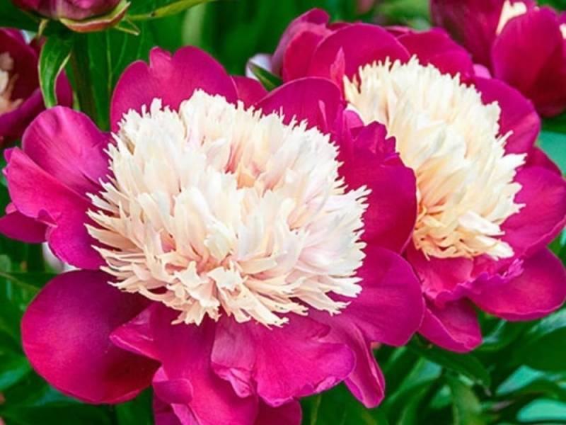 Пион уайт кэп (paeonia white cap) — особенности посадки цветка