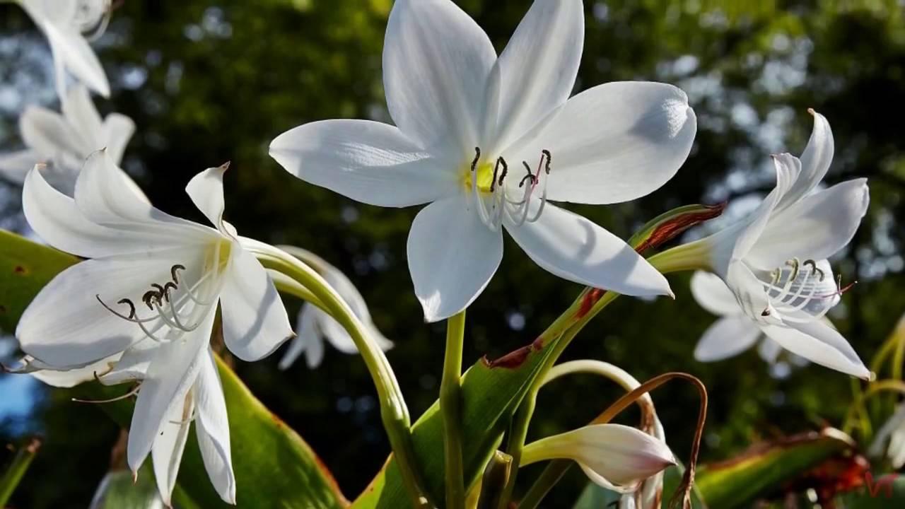 Цветок гербера садовая посадка и уход в открытом грунте