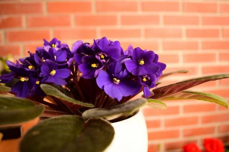 Описание фиалки шикарный мак: как цветёт, правила содержания, размножение