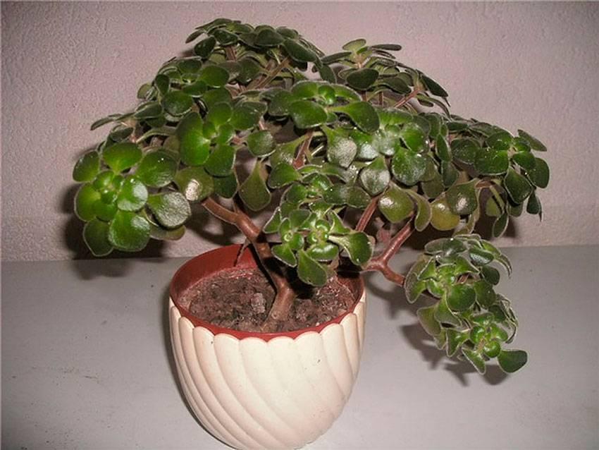 """Аихризон - """"дерево любви"""". как ухаживать за растением?"""