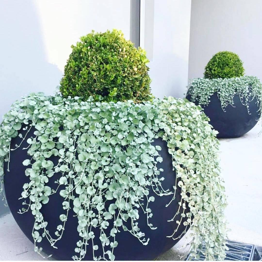 Цветок дихондра серебристый водопад или серебрянные нити