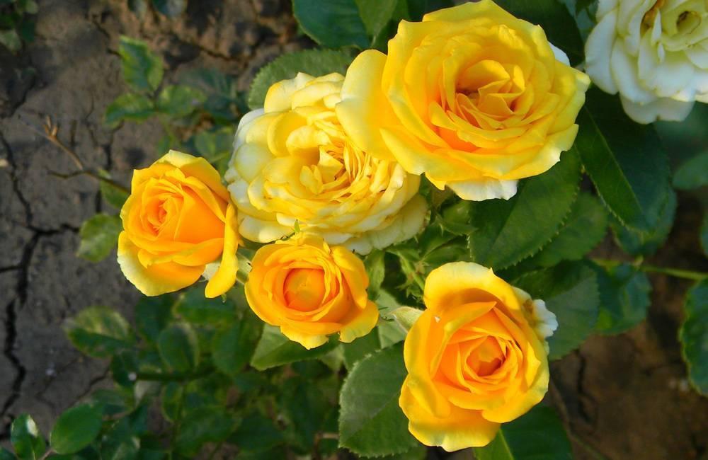 Какой уход требует роза кордана после покупки