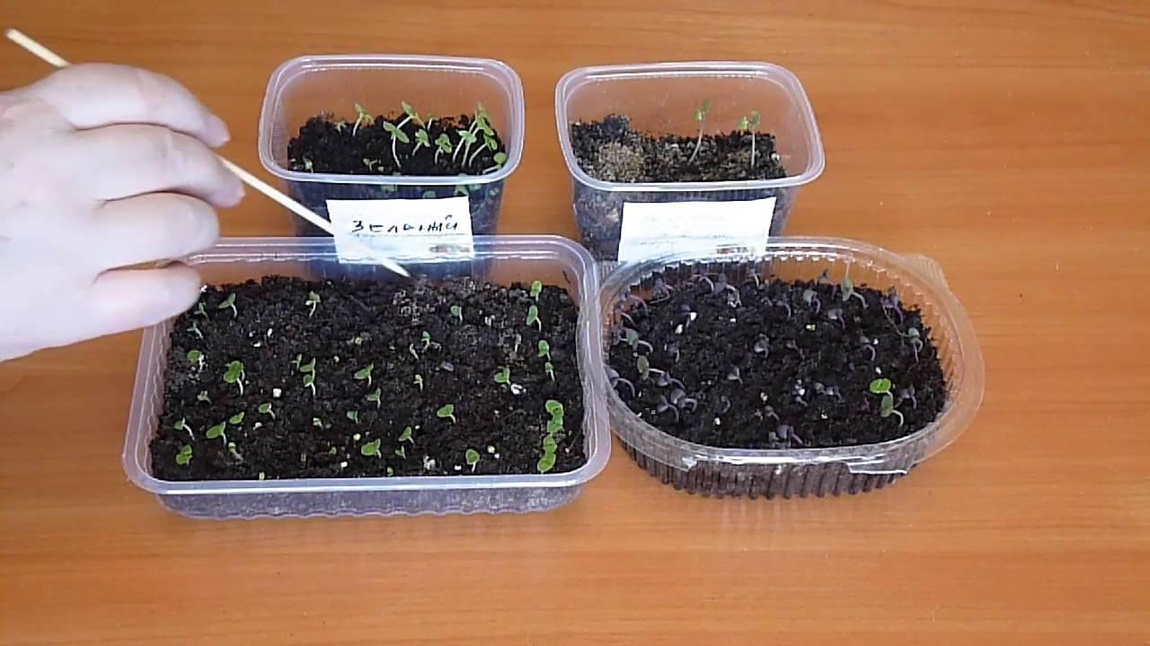 Как посадить базилик семенами, в том числе в открытом грунте