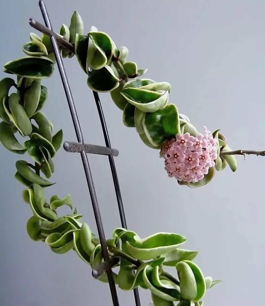 Чудный цветок «хойя мультифлора»