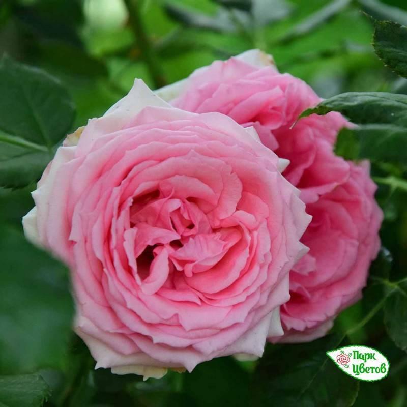 Описание канадской парковой розы морден санрайз: что это за желтый сорт