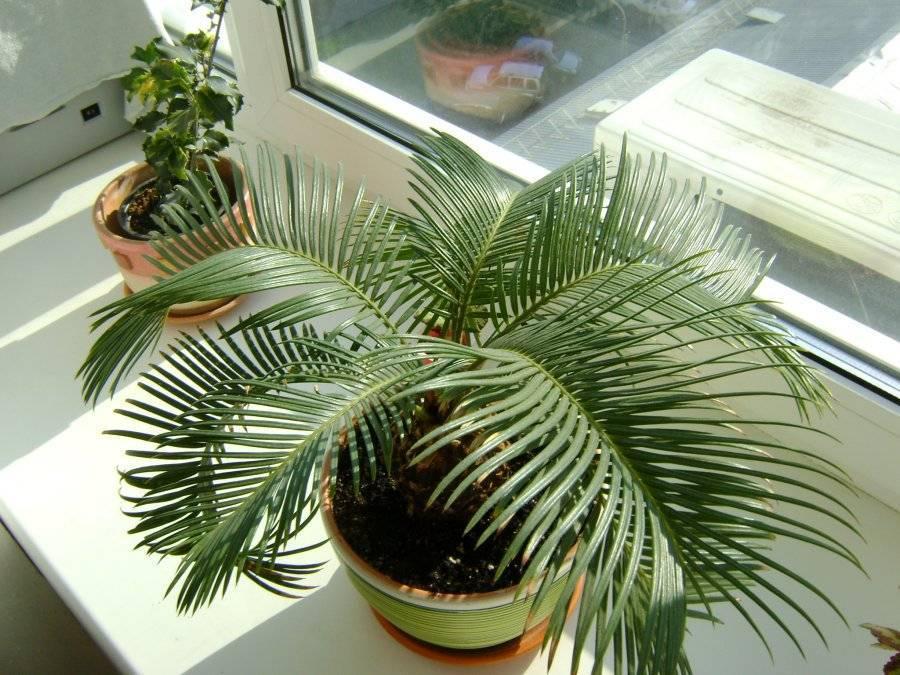 Саговая пальма цикас — уход в домашних условиях - pocvetam.ru