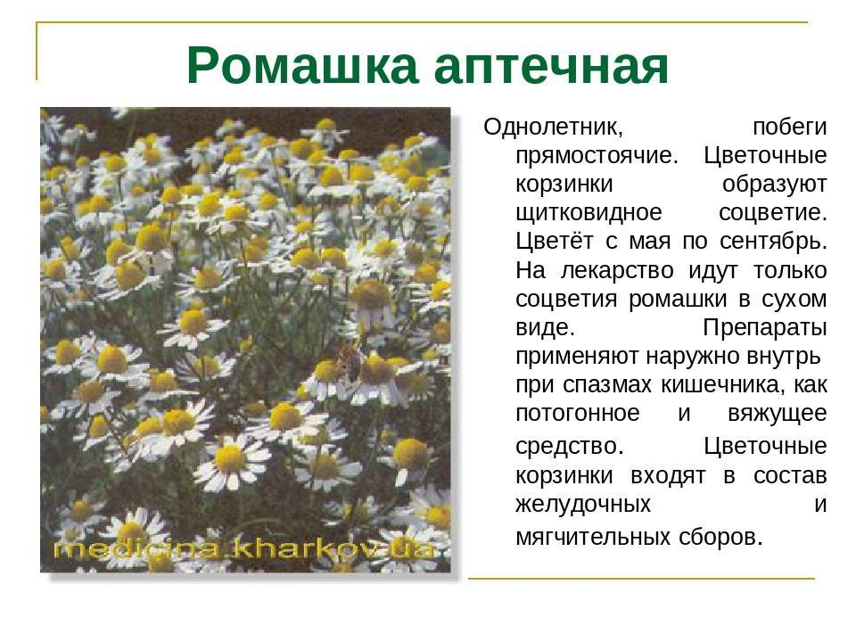Виды ромашек — цветущие бордюрные многолетники
