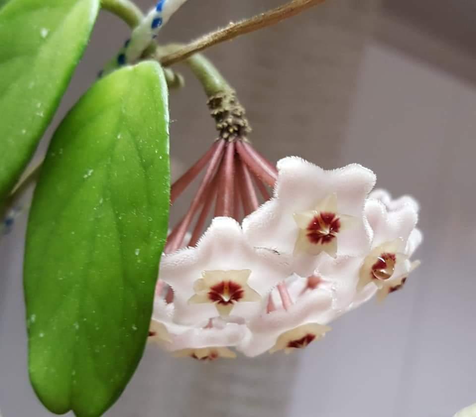 Цветок хойя или плющ — уход в домашних условиях, почему желтеют листья у хойи