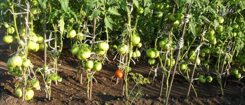 Формирование томатов - особенности, схемы и правила формирования помидор (105 фото)