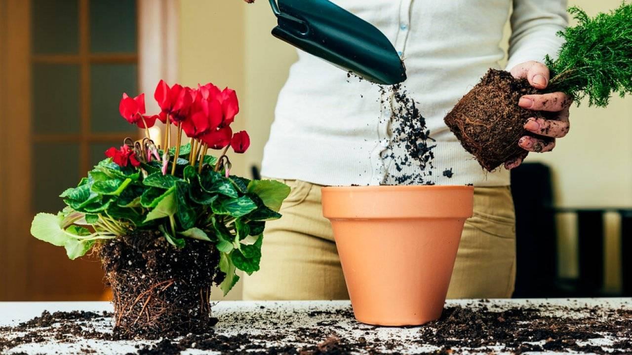 Выращивание фикуса мелани: как посадить, ухаживать, удобрять, размножать