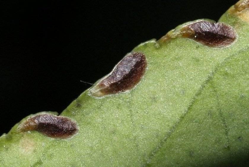 Как избавиться от щитовки на комнатных растениях: средства и методы борьбы