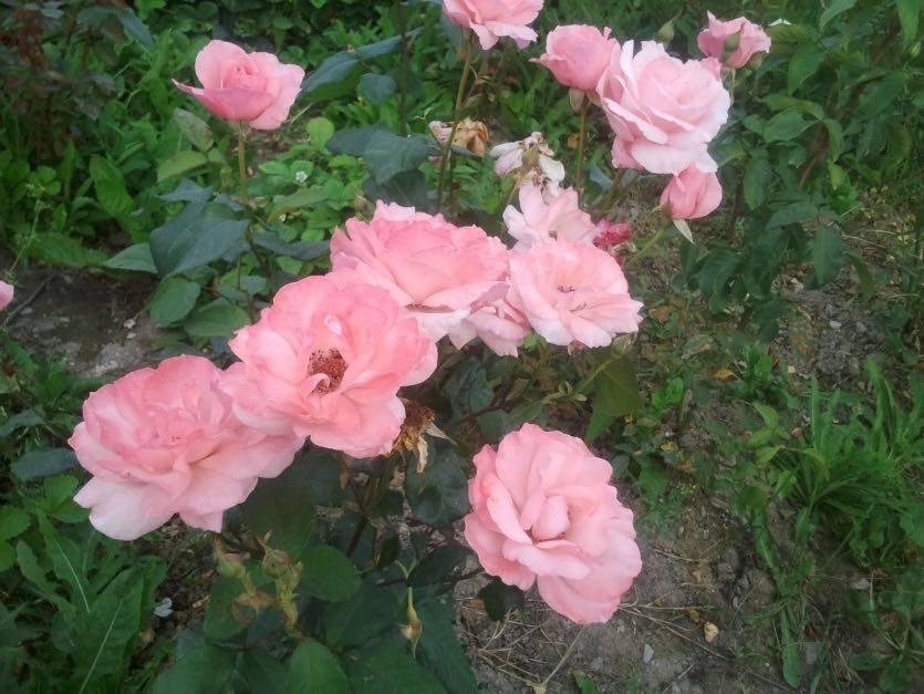 Роза куин элизабет: 7 особенностей сорта, посадка и уход