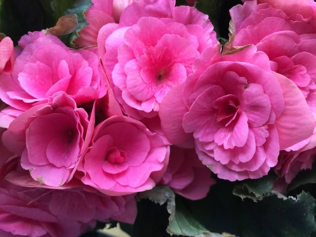 Цветок бегония уход в домашних условиях фото, виды, размножение