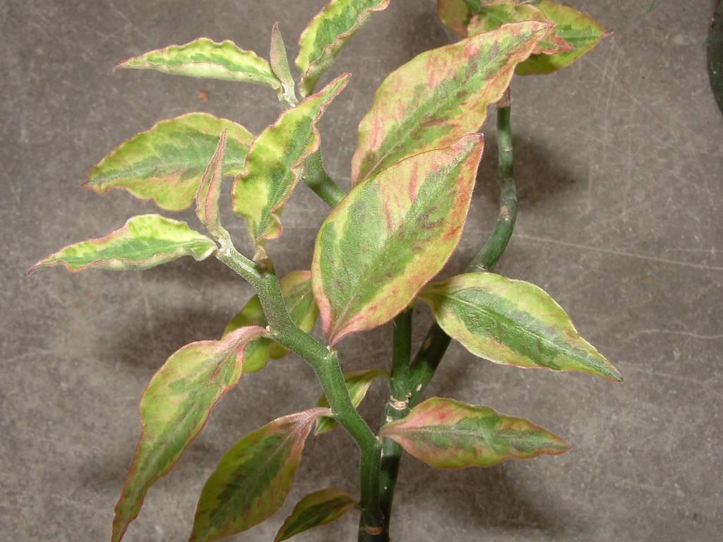 Педилантус титималоидный (23 фото): уход за цветком в домашних условиях, правила посадки. возможные болезни и их лечение