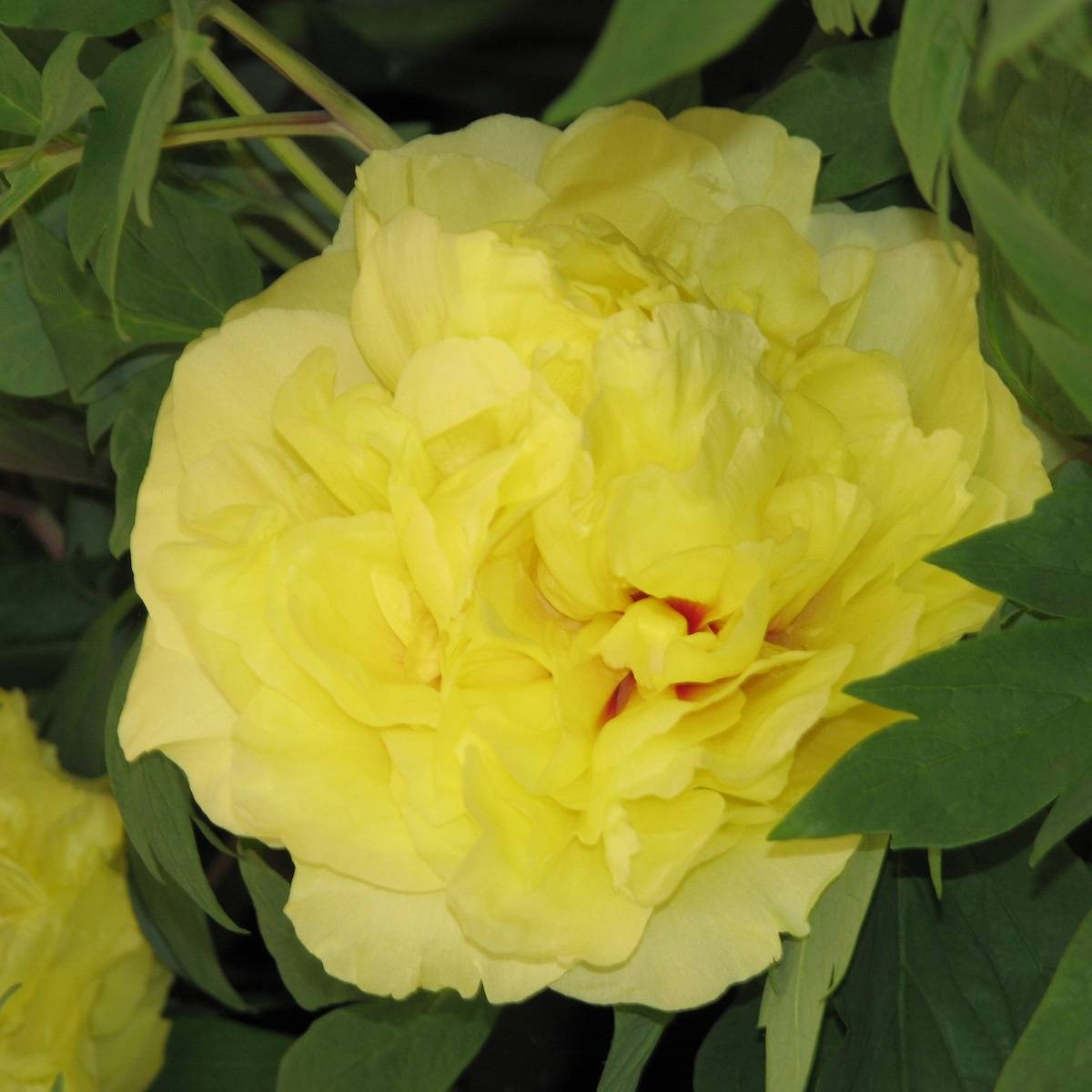 Сорта жёлтых пионов
