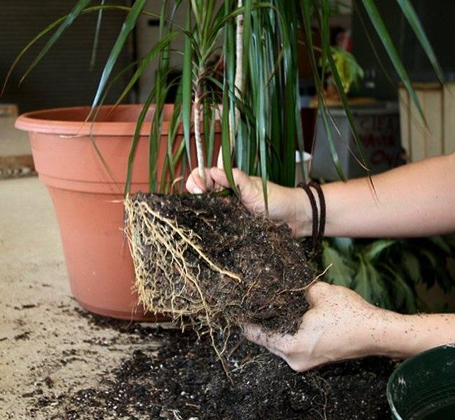 Как размножить драцену дома, как обрезать драцену выросшую до потолка