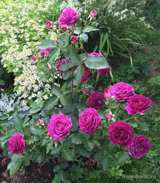Роза эбб тайд (ebb tide или purple eden) — посадка и уход