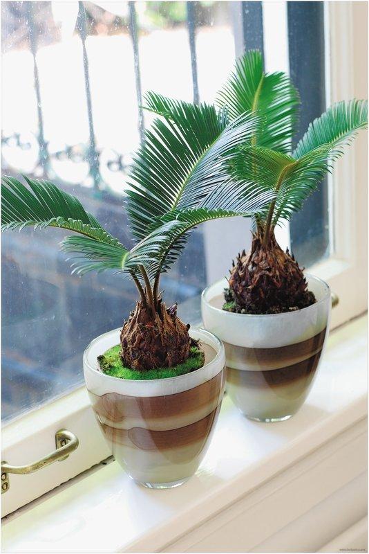 Всё о пальме цикас, уходе в домашних условиях: желтеют листья, не выпускает новые