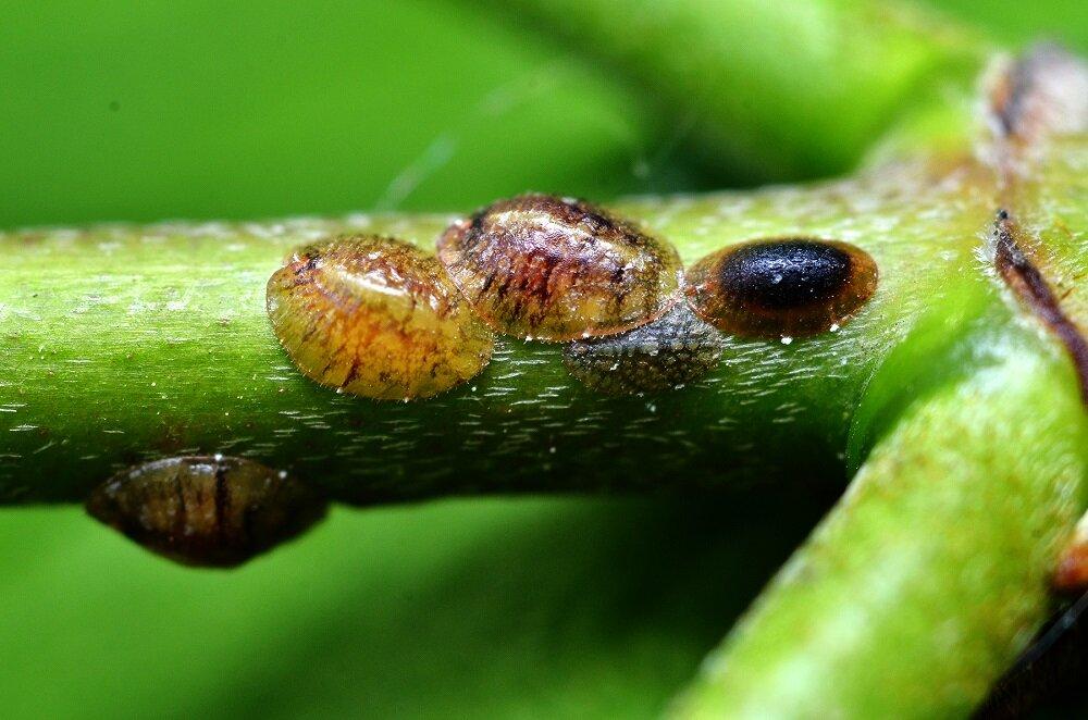 Нематода – коварный вредитель орхидей