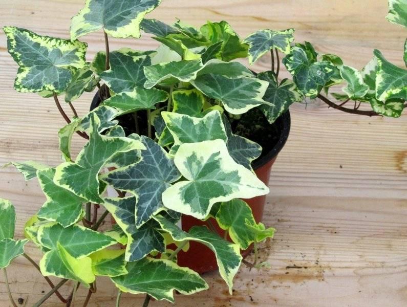 Как посадить и вырастить хедеру хеликс в домашних условиях?