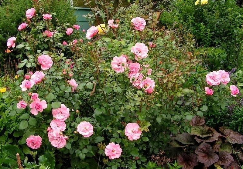 Роза боника: выращивание и уход в открытом грунте